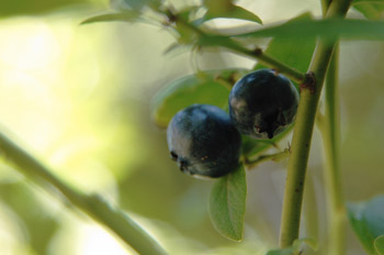 Ripe Blueberry ready for picking